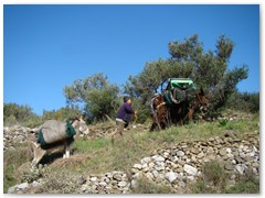 Olive Picking Season - Stroumbos