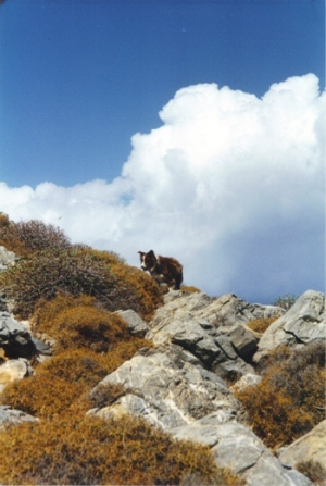 Welsh border collie on Amorgos
